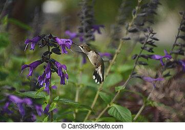 néctar, beborrotear, colibrí