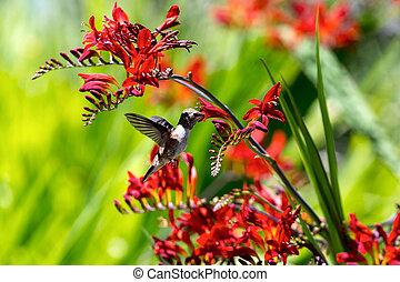 néctar, colibrí, obteniendo, flor