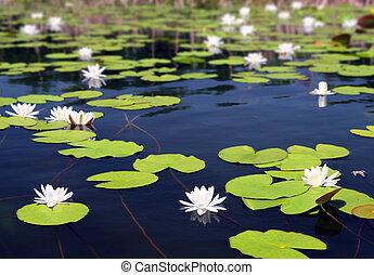 nénuphar, été, fleurs, lac