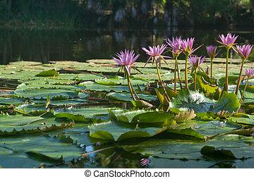 nénuphar, pond.