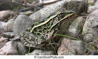 nördlich , leopard, frog.