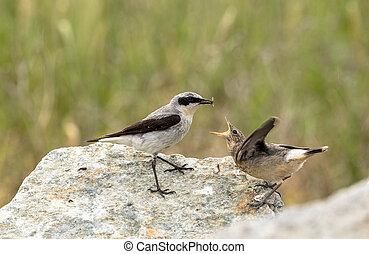 nördlich , wheatear, oenanthe, oenanthe, a, männlicher vogel, in, zucht, gefieder, über, ernähren, ihr, junger, neuling, mit, ein, insect.