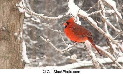 nördlicher kardinal, in, winter, sturm