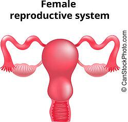 női, nemző, system., ábra, anatómia, emberi