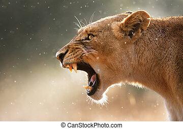 nőstény oroszlán, displaing, veszélyes, fog