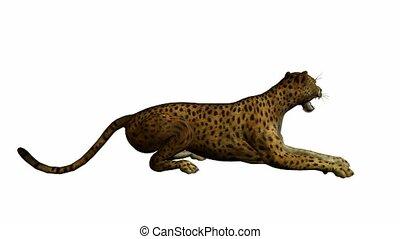na dół, jaguar, leżący