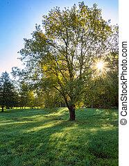 na, iscolated, drzewo, z, słońce, tworzenie, skutek gwiazdy