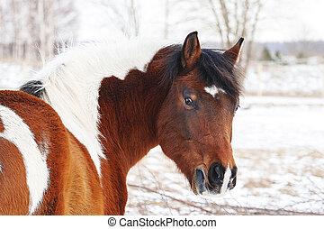 na, niejaki, przeziębienie, zima, dzień, w, piękny, konie pastwiskowe
