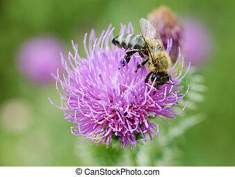 nach, flower., včela