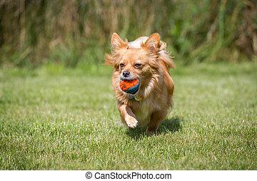 Nach getaner Arbeit - Kleiner Brauner Hund bringt seinen...