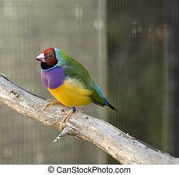 nach, jeho, bránit, showing, zbabělý, barvy, bystrý, gouldian, pěnkava, nezkušený, australský, samčí ptáci, červeň, červeň
