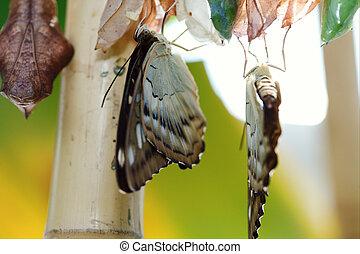 nacimiento, de, el, butterfly.