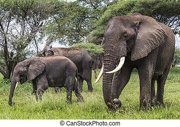 nacional, africano, parque, tarangire, elefante, tanzania