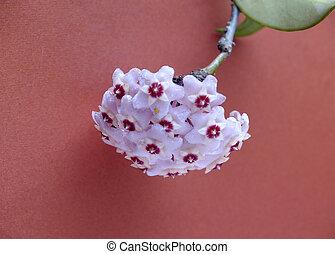 nacre flower