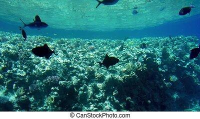 nad, barwny, egipt, korale, video, 4k, morze, szkoły, ryby, ...