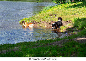 nade, verão, lago, dois, day., cachorros quentes