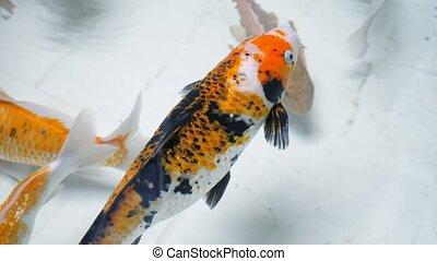 nage, noir, fish, orange, merveilleux, blanc, couleurs