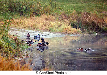nager, canards, paysage automne, yellow-orange-red, forêt, lac