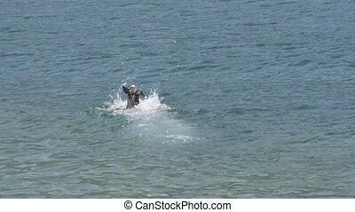 nager, eau, amstaff, chien