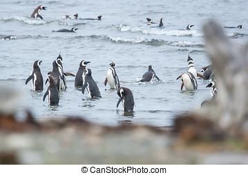 nagy csoport, közül, pingvin, part