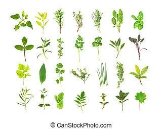 nagy, fűszernövény, kiválasztás, levél növényen