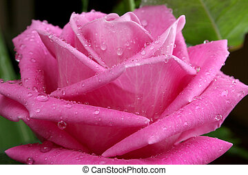 nagy, rózsa
