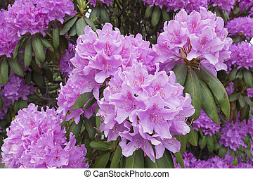 nagy, rododendron, menstruáció, mutatós