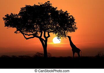 nagy, south african, zsiráf, -ban, napnyugta, alatt, afrika