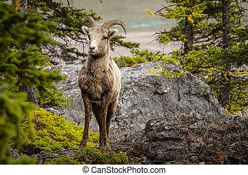 nagy, szarvas, sheep, alatt, banff nemzeti dísztér