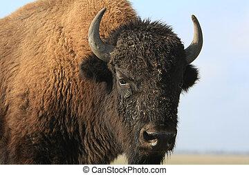 nahaufnahme, büffel