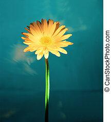 nahaufnahme, gänseblumen