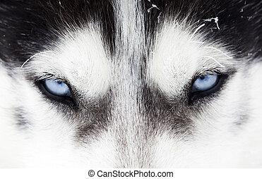 nahaufnahme, kugel, von, heiser, hund, blaue augen