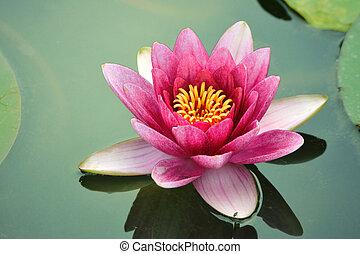 nahaufnahme, lotusblüte
