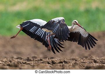nahaufnahme, störche, taking-off, zwei, weißes, (ciconia)