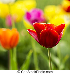 nahaufnahme, von, a, rote tulpe, blume