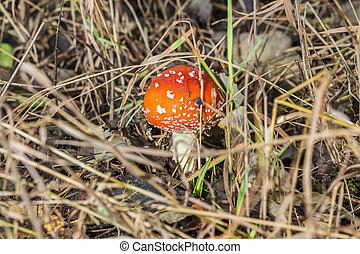 nahaufnahme, von, eins, rotes , schwammerl, unter, grünes gras, in, der, herbst, forest., knollenblätterpilz muscaria, bekannt, als, fliegenpilz, oder, gleichfalls, a, schöne , aber, giftig, und, psychoactive, basidiomycete, fungus.
