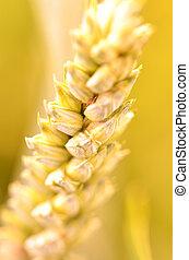 nahaufnahme, von, goldenes, weizen, getreide, korn