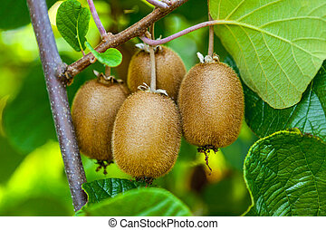 nahaufnahme, von, reif, kiwifrucht, auf, der, bushes.,...