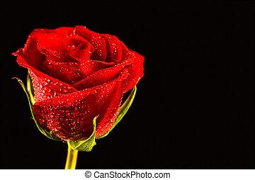 nahaufnahme, von, rose