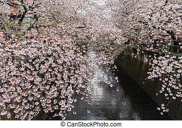 Nakameguro Canal this area is popular sakura spot in Tokyo.