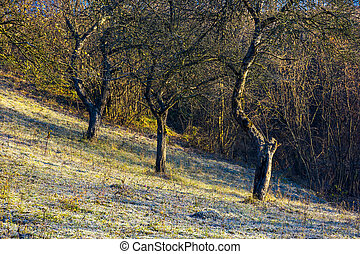 naked apple trees in orchard at sunrise. grassy hill in...