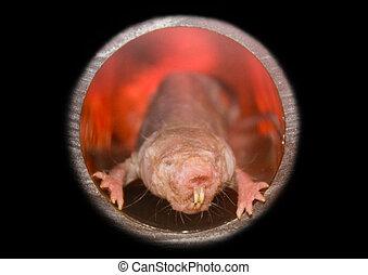 Naked mole rat (Heterocephalus glaber) illustrated