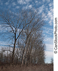 Naked trees against blue sky