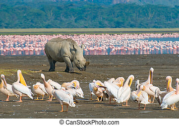 nakuru, meer, neushoorn, park, kenia, nationale