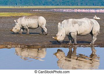 nakuru, noshörningar, insjö, parkera, kenya, medborgare