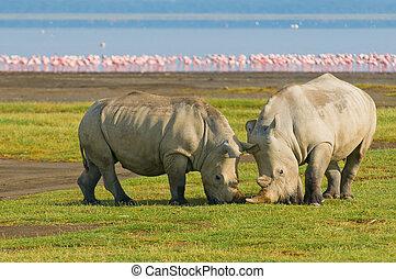 nakuru, rhinos, lac, parc, kenya, national