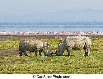 nakuru, rhinos, meer, park, kenia, nationale