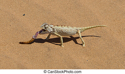 Namaqua Chameleon hunting in the Namib desert, Namibia