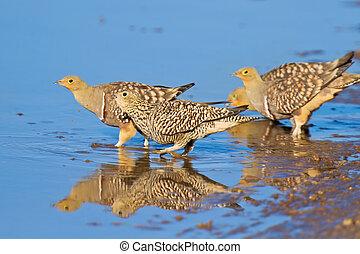 Namaqua sandgrouse drinking water