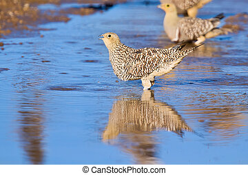 Namaqua sandgrouse drinking water